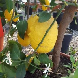 Citrus Limon – Citronnier