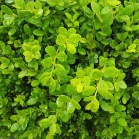 Buxus Microphylla Faulkner – Buis