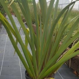 Phormium Tenax – Lin de Nouvelle Zélande vert