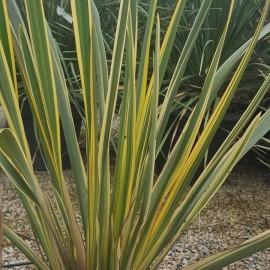 Phormium Variegatum – Lin de Nouvelle Zélande panaché