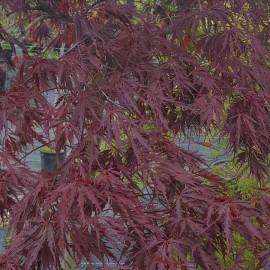 Acer Palmatum Dissectum Rosso – Erable japonnais