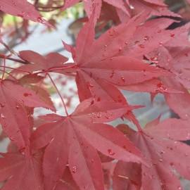 Acer Palmatum Atropurpureum – Erable japonnais