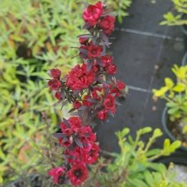 Leptospermum Scop Red Damask – Myrthe à fleurs