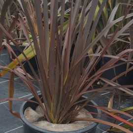 Phormium Tenax Atropurpureum – Lin de Nouvelle Zélande rouge