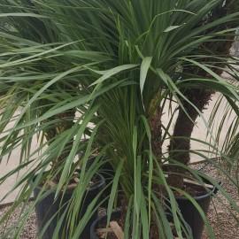 Cordyline indivisa – Dracaena vert
