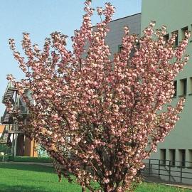 Prunus Serrulata Kanzan – Cerisiers à fleurs