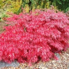 Acer Palmatum Dissectum Tamukeyama – Erable japonnais
