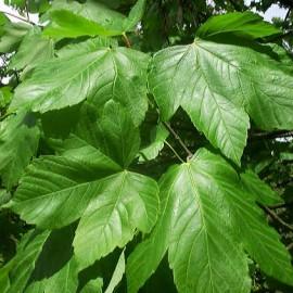 Acer Pseudoplatanus – Erable sycomore