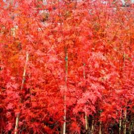 Acer Palmatum Seiryu – Erable japonnais