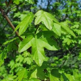 Acer Campestre – Erable champetre