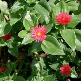 Aptenia Cordifolia – Gazon Espagnol