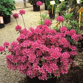 Azalea Rhododendron – Azalée Rhododendron