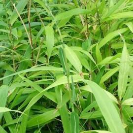 Pseudosasa Japonica – Bambou