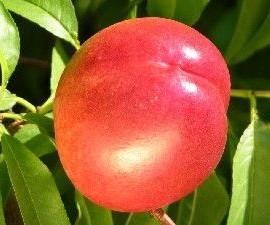 Prunus Persica Brugnons Fantasia J – Brugnon jaune