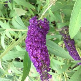 Buddleia Davidii Black Knight – Arbre à Papillon
