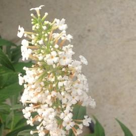 Buddleia White Bouquet – Arbre à papillons