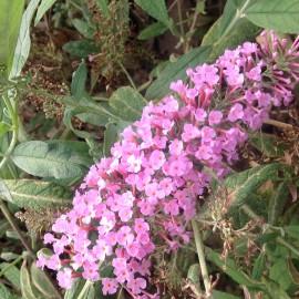 Buddleia Davidii Pink Delight – Arbre à papillons