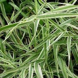 Phyllostachys Pleioblastus fortunei 'Variegata'  – Bambou