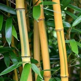 Phyllostachys Aureosulcata Spectabilis – Bambou