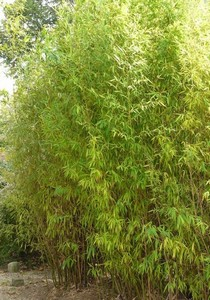 phyllostachys aurea bambou p pini res ruiz. Black Bedroom Furniture Sets. Home Design Ideas