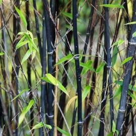Phyllostachys Nigra – Bambou Noir