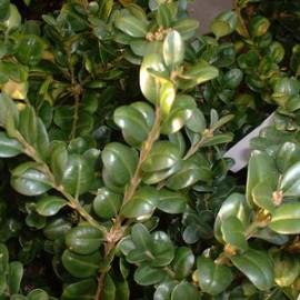Buxus Macrophylla Rotundifolia – Buis