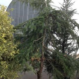Cedrus Deodora Pendula – Cèdre pleureur de l'Himalaya