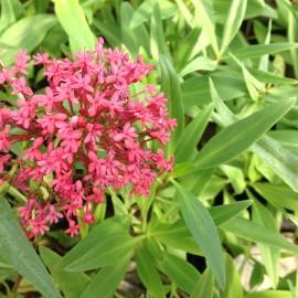 Centranthus ruber mauve – Valériane