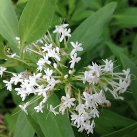 Centranthus ruber albus – Valériane