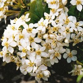 Choisya Ternata Aztec Pearl – Oranger du Mexique