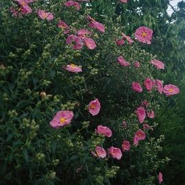 Cistus x Purpureus – Ciste rose