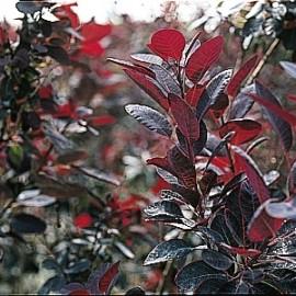 Cotinus Coggygria Royal purple – Arbres à perruques
