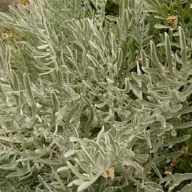 Centaurea Cineraria – Bleuets
