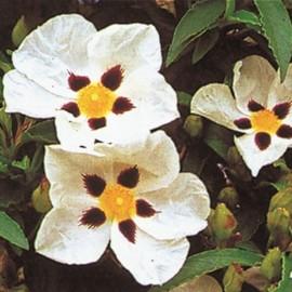 Cistus Monspeliensis – Ciste Montpellier blanc