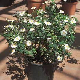 Cistus x Corbariensis – Ciste blanc