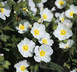 Cistus x Florentinus – Ciste blanc rose