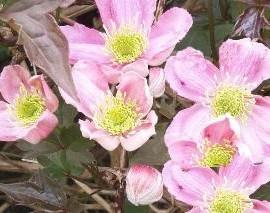 Clematis Montana Tetrarose – Clématite rose