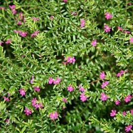 Cuphea Hyssopifolia Rosea – Fausse Bruyère