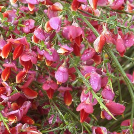 Cytisus Scoparius Killiney Red – Genêts hybrides