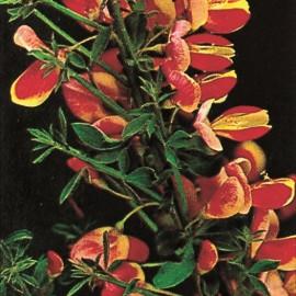 Cystisus Scoparius Lena – Genêts hybrides
