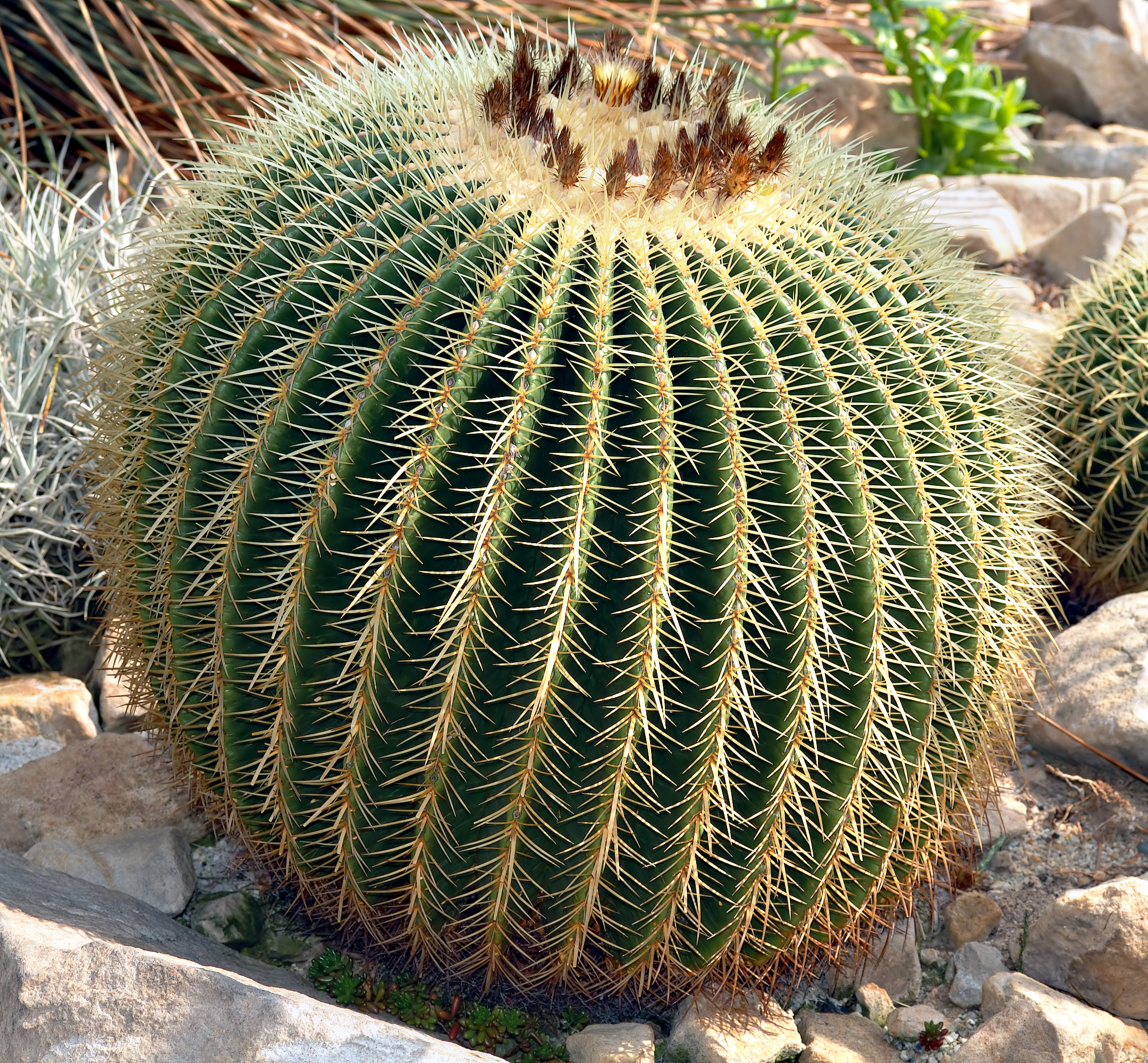 Echinocactus Grusonii – Coussin de belle mère