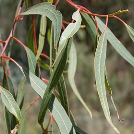 Eucalyptus Rostrata – Gommier rouge