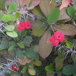 Euphorbia Milii – Couronne d'épine du Christ