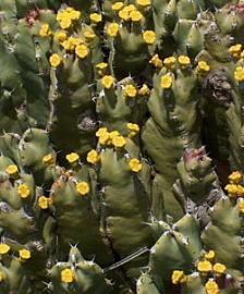 Euphorbia Resinifera – Euphorbe de l'Atlas