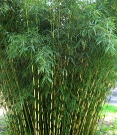 Fargesia Robusta – Bambou