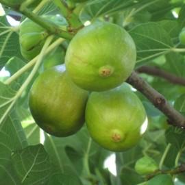Ficus Carica – Figuier