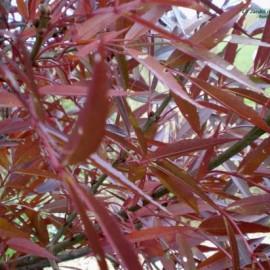 Fraxinus angustifolia raywood – Frêne à feuilles étroites