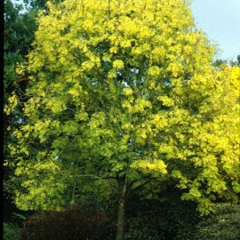 Fraxinus excelsior – Frêne commun