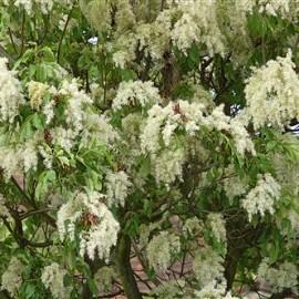 Fraxinus ornus – Frêne à Fleurs