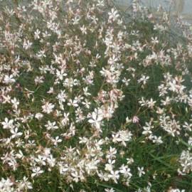 Gaura lindheimeri – Gaura blanche
